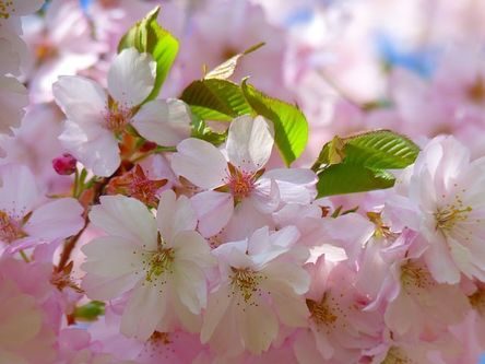 japanese-cherry-trees-6343__480.jpg
